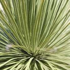 Dasylirion serratifolium ( 50 graines/seeds)