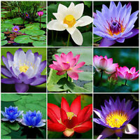 10Pcs Bonsai Lotus Water Lily Flower Bowl Pond Fresh Seeds Perfume Lotus Mixed