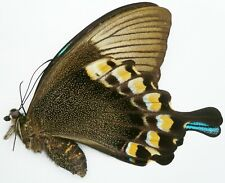 PAPILIO BLUMEI FRUHSTORFERI FEMALE FROM CAMBA, SOUTH SULAWESI