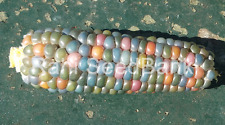 Corn Glass Gem Hugo - A Beautiful Glass Gem Corn Variety!!!