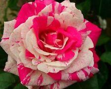 20+ Pink Dragon Rose Bush Seeds - Exotic & Beautiful   USA SELLER, SHIPS FREE