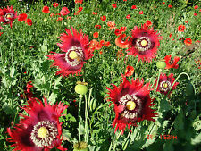 1000+ LARGE POPPY MIX, SOME FRILLY, SEED VARIETY HAS LARGE SEEDS USED FOR BAKING