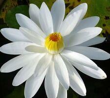 Nymphaea sp. Virginalis White Water Lily 15 seeds Free Ship