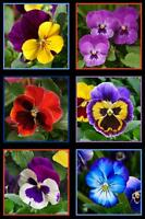 Elizabeth Studio Lovely Pansies Pansy Red Yellow Purple Pink Floral Fabric Panel