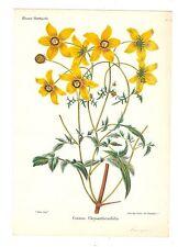 Botanique Yerna, Cosmos Chrysanthemifolia. Lithographie Horticole du XIXe.