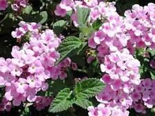 Lantana Pink Caprice Drought Tolerant 2 Starter Plants