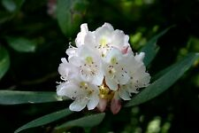 Rosebay Rhododendron -25 seeds -Rhododendron Maximum- Evergreen Flowering Shrub