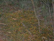 Pultenaea pedunculata - Carpet Pea 10 seeds