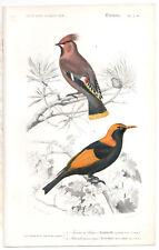 1849 Original Birds Print Waxwing Pl. 2 b, By ch. Orbigny, atlas volume 1