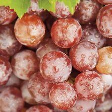 Black Red Grape Vine Plant Seedless Climbing Vanessa 2L Pot Soft Fruit Outdoor