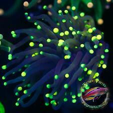 New listing Blue Green Tip Torch - Wysiwyg Live Coral Frag- Top Tier Aquatics