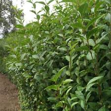 10 PRIVET Green Ligustrum Hedging Bareroot Shrubs Coastal Hedge 3-4ft tall e117