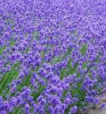 F0277 Lavender Hidcote Blue x50 seeds Herb Aroma Insect Repellent Beneficial