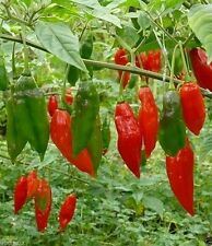 RED,HOT LANTERN HABANERO PEPPER- (30 SEEDS) Easy to grow,mature Early !