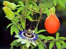 10 Graines Fleur de la Passion, Passiflore bleue ,Passiflora caerulea seeds
