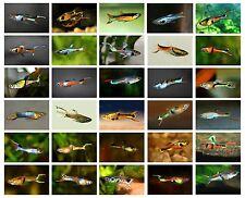 3 x Pairs Mixed Lot of True Endlers Poecilia wingei (Miniature Wild Livebearer)