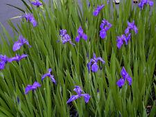 Blue Iris Reed LIVE Water Plant Aquatic Pond Lake Marginal Bog