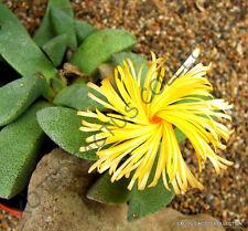 Rare Pleiospilos Magnipunctatus @ succulent mesembs living stones seed 20 Seeds