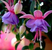 10Pcs Begonia Fuchsia Flower-Tree Seeds Rare 4 Kinds Colors Pereninal Garden