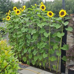 SUNFLOWER GIANT Single 35 Seeds KID FLOWER garden SPRING SUMMER border TALL EASY