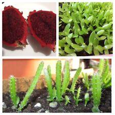 20 FRESH RED DRAGON FRUIT SEEDS (Pitaya Fruit Cactus)