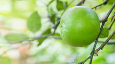 Huile essentielle de Citron vert (Limette) du Mexique - 60ml - Pure et naturelle