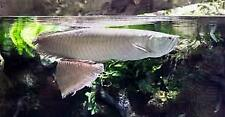 2 Live Arowana sliver 6-7 inch live tropical fish for sale free shipping.