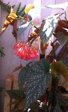 Begonia Lucerna. House Plant. Pink Salmon Flowers. 12cm Pot. Speckled Leaves.