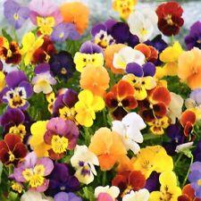 Hornveilchen Viola cornuta Steingarten winterhart mehrjährig 400 Samen Nr.343
