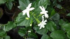 Arabischer Jasmin Jasminum sambac ca.100cm