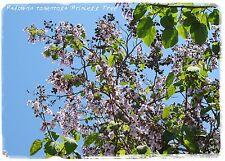 """Paulownia tomentosa """"princesse"""" arbre"""" 500+ graines"""