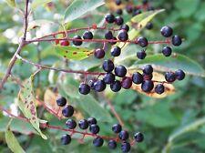 20 WILD BLACK CHERRY TREE SEEDS - Prunus Serotina