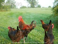6 Pure Fast Growing French Black Copper Marans Hatching Eggs