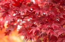 Acer Palmatum Whitney Red
