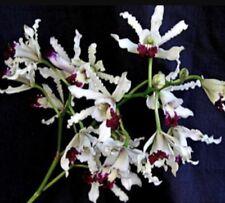 """Schomburgkia albopurpurea """"exotische Orchideen der mericlone seedling Size 1"""" Kübel"""