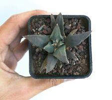Ariocarpus f3 hybrid 7c (Retusus cv Cauliflower X Scapharotrus X Trigonus)