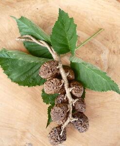 Deko Früchte Kerne am Strick,Samen Seeds,L. 33 cm, getrocknete Früchte Deko Obst