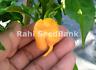 Trinidad 7 Pod, Pot Primo Yellow Chilli - One of the Rare & Hottest in the World