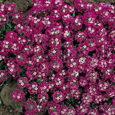 ALYSSUM 'Rosie O'Day 250 seeds flower garden