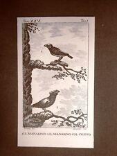 Manakino e Manakino col ciuffo Incisione su rame 1813 Buffon Uccello Ornitologia
