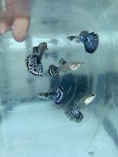 New listing Purple Blue Mosaic Guppies *Live Fish* (Rare Import) 1 Pair