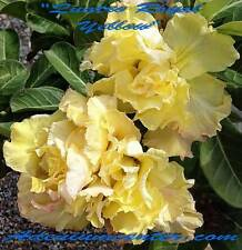 "ADENIUM OBESUM DESERT ROSE TRIPLE FLOWER "" QUATRO ROYAL YELLOW "" 10 seeds NEW"
