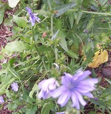 New listing Chicory Seeds 1 lb Coated Seed Deer Plot Perennial Wildflowers Rabbit Pet