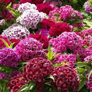 """Sweet William TALL DOUBLE MIX Dianthus 20"""" Sun/Partial Shade Non-GMO 100 Seeds!"""