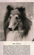 The Rough Coated Collie Dog Rare Vintage Art Photo & Breed Description 1931