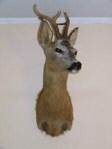 Superb Roe Deer Buck head mount wild game antlers Capreolus taxidermy hunting