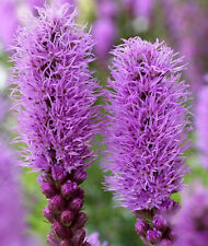 New listing Liatris, Gay Feather, Blazing Star 100 Seeds, Long Blooming Purple Flowers