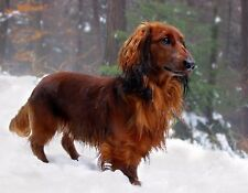 Metal Magnet Dog Miniature Long Haired Dachshund Snow Dogs Magnet