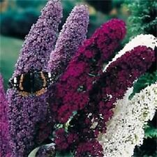 NEW! 25+ BUDDLEIA  BUTTERFLY BUSH  FLOWER SEEDS MIX / FRAGRANT PERENNIAL