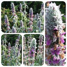 Wollziest Stachys byzantina Eselsohr Bienenweide Heilpflanze Woll-Ziest